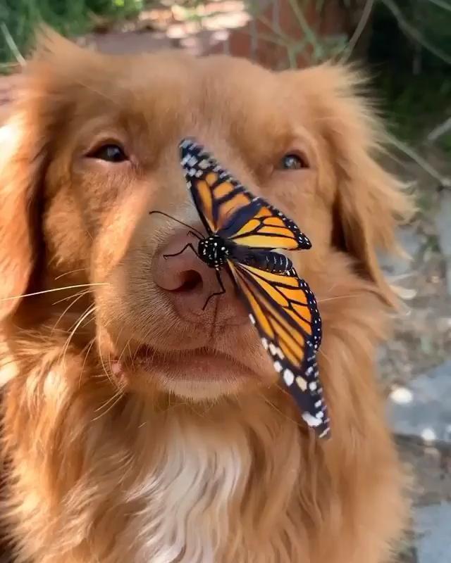 Un Perro Golden Reatriver sin Saberlo una Mariposa
