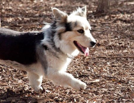 Corgi Husky Mix Puppies For Sale In Missouri Google Search