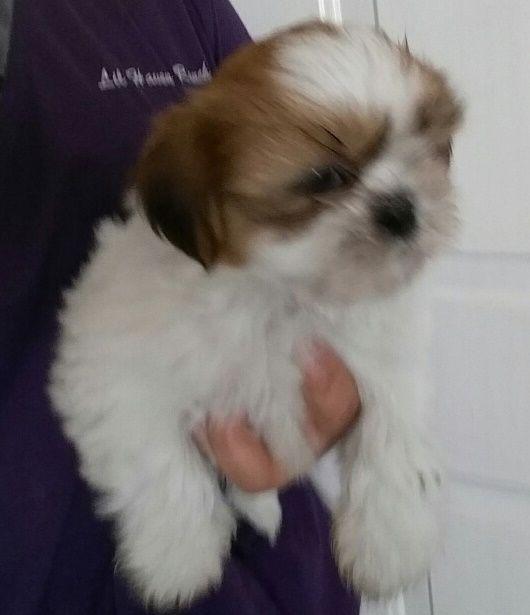 Puppies For Sale Shih Tzu Shih Tzus F Category In Aurora