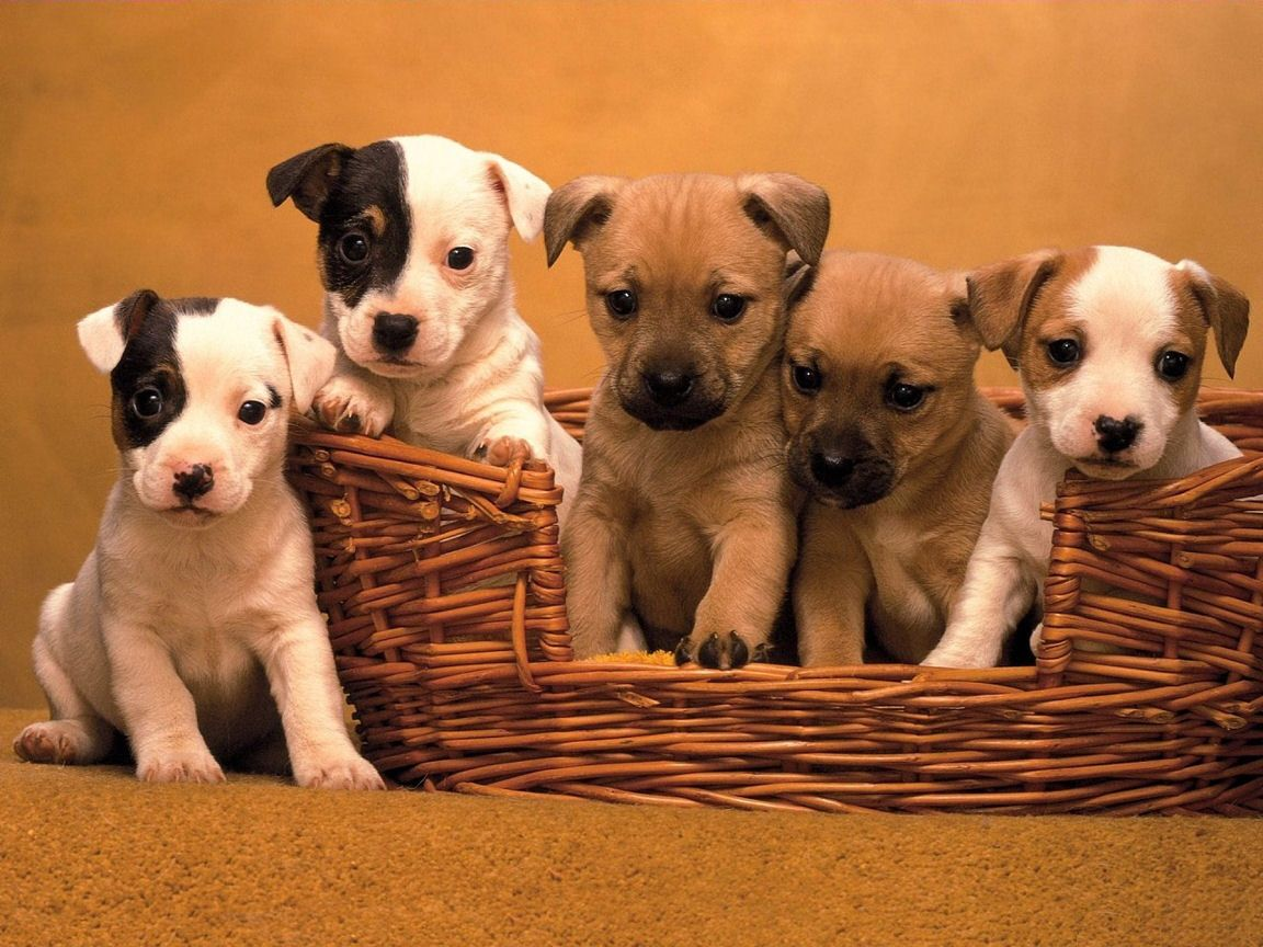 Jack Russell Cute Puppies Wallpaper for your puter Desktop