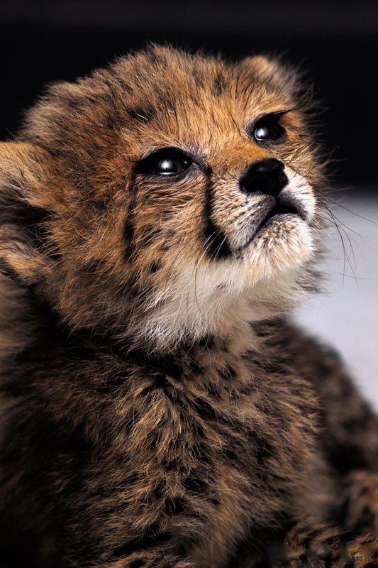 422bc2a4d282466862b05bf2c3c15ba3 Jpg 533 800 Pixels Baby Cheetahs Beautiful Cats Animals