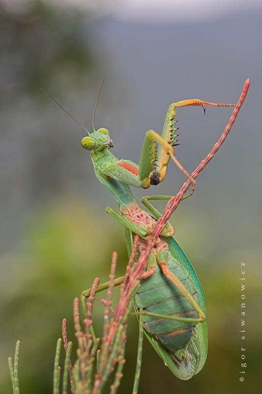 Hi Beautiful Praying Mantis Beautiful Bugs Insects