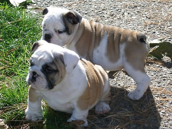 chubby dogs - Google Search