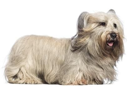 Skye Terrier Skye Terrier Dog Breeds Terrier