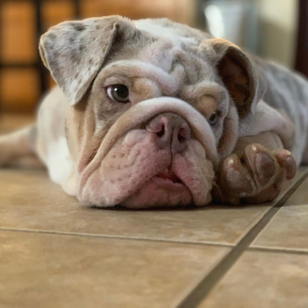 Tgif Mood 4 Mo Old Englishbulldog Bully Puppy