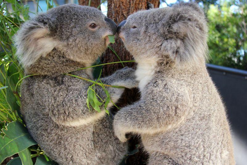 Kissing Koalas At Taronga Zoo Zoo Babies Koala Koala Bear