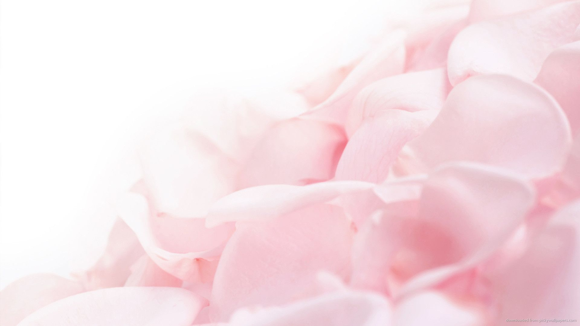 1920x1080 1440x900 Pink Flower Petals Wallpaper Background