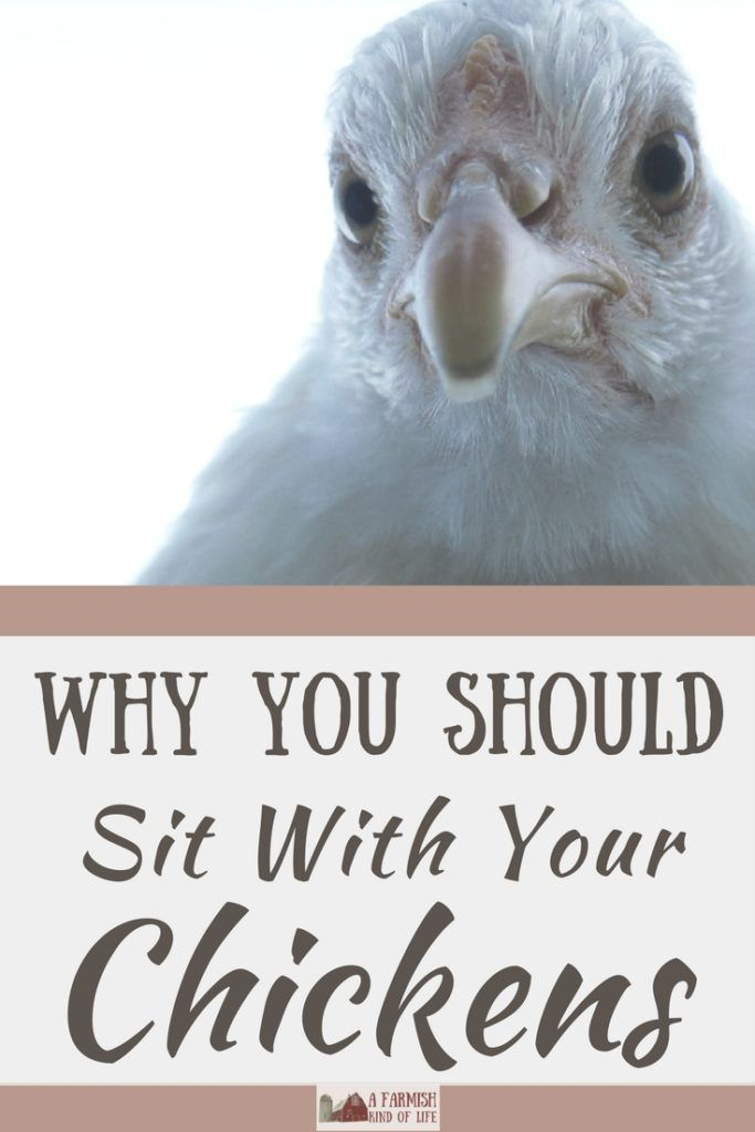Gratitude: Why You Should Sit With Your Chickens   Urban ...