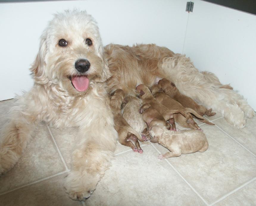 F1 Mini Goldendoodles In Indiana Goldendoodle Mini Goldendoodle Puppies Mini Goldendoodle
