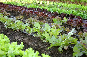 Growing Lettuce in South Carolina.