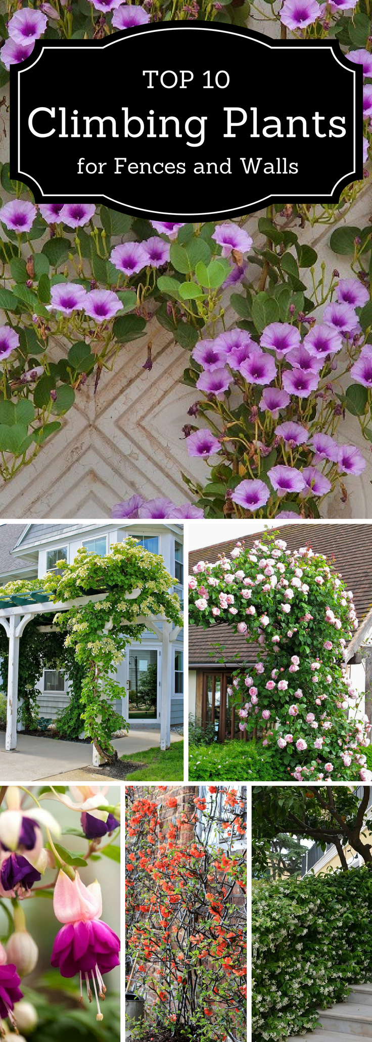 10 Beautiful Climbing Plants for Fences and Walls This is the time when the climbers give the best of them – blooming flowers in white, pink, blue and other colors!This is the time when the climbers give the best of them – blooming flowers in white, pink, blue and other colors!