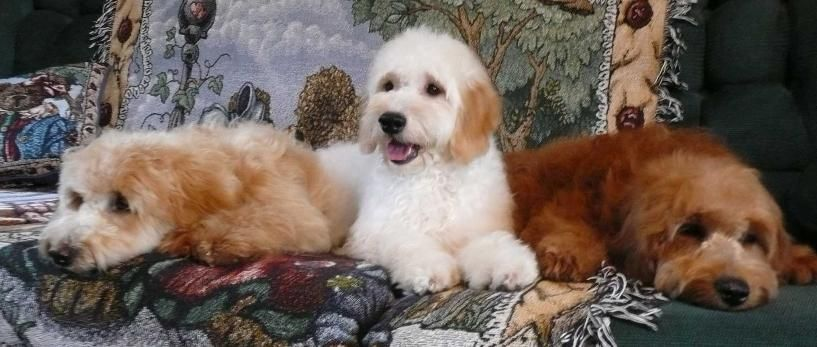 Goldendoodle Puppy Breeders Ontario Mini Doodle Puppies For