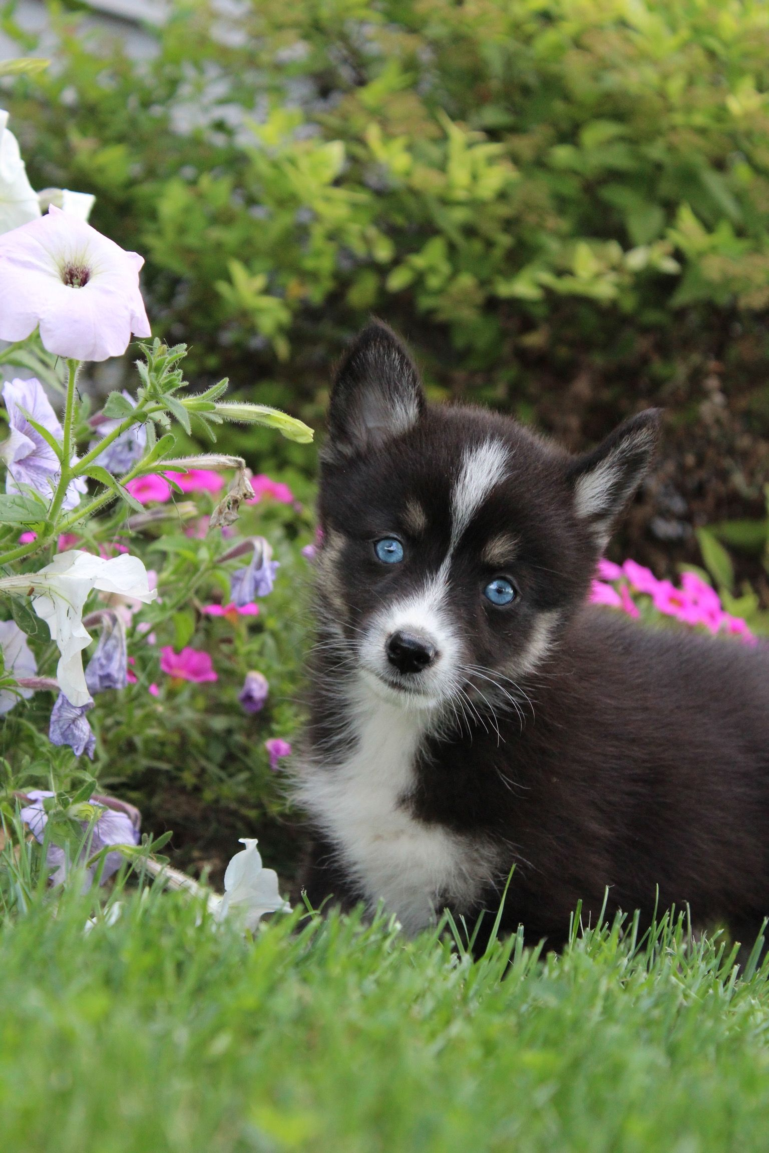 Hello There Friend Jen Is A Beautiful Pomsky With Those Gorgeous