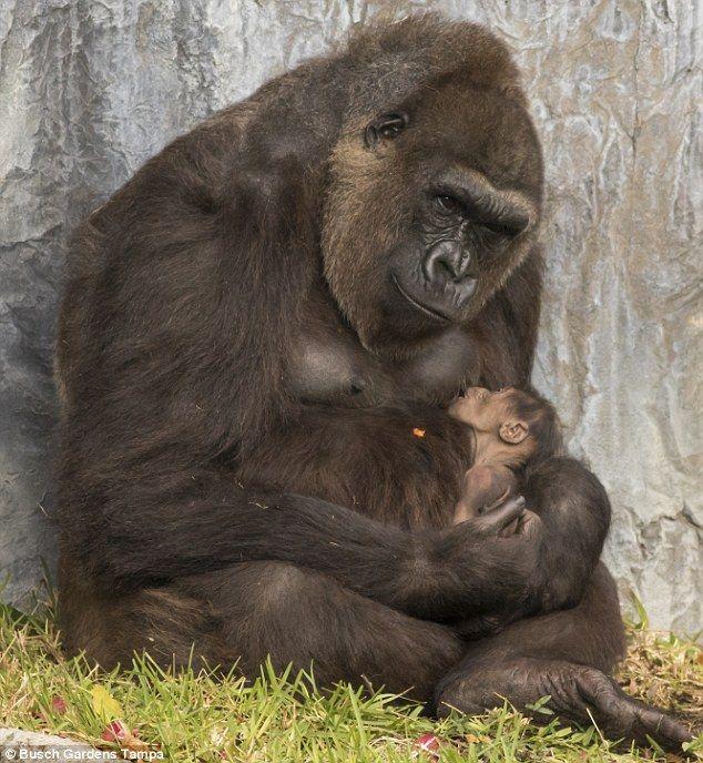 Baby Gorilla Born At Busch Gardens