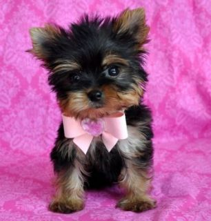 Teacup Yorkie Puppy For Free Adoption Tx For Sale Dallas Fort Worth Pets Dogs Yorkie Poo Yorkie Teacup Yorkie