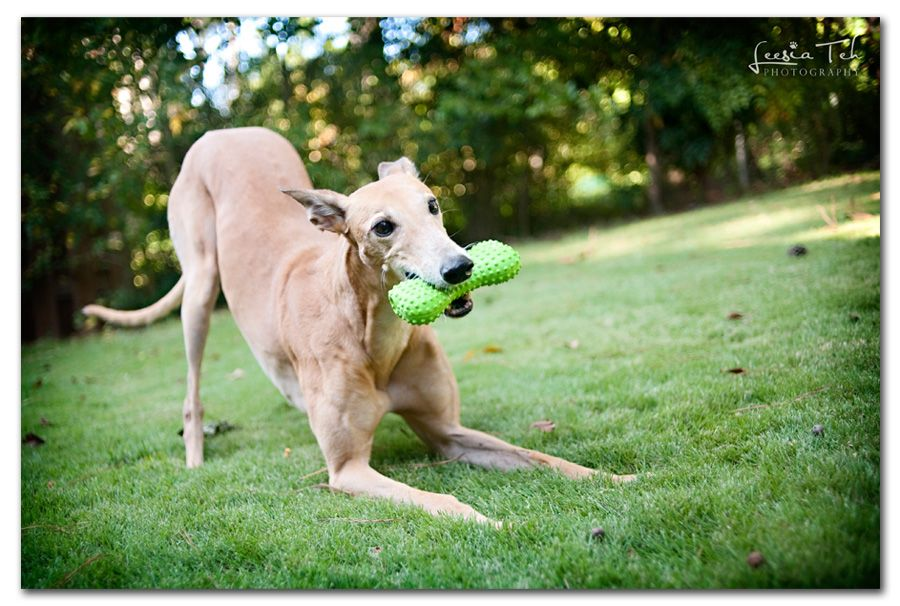 Greyhound With Images Dog Photograph