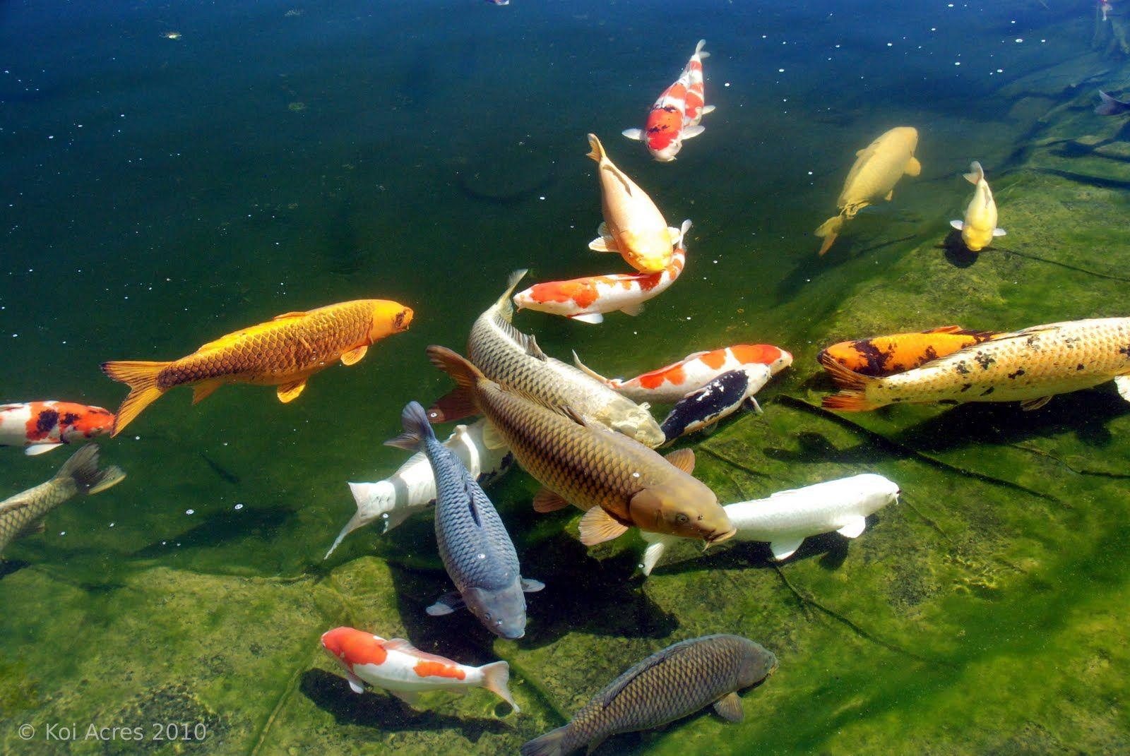 BIG koi, and beautiful patterns and colors. | Koi and Goldfish ...