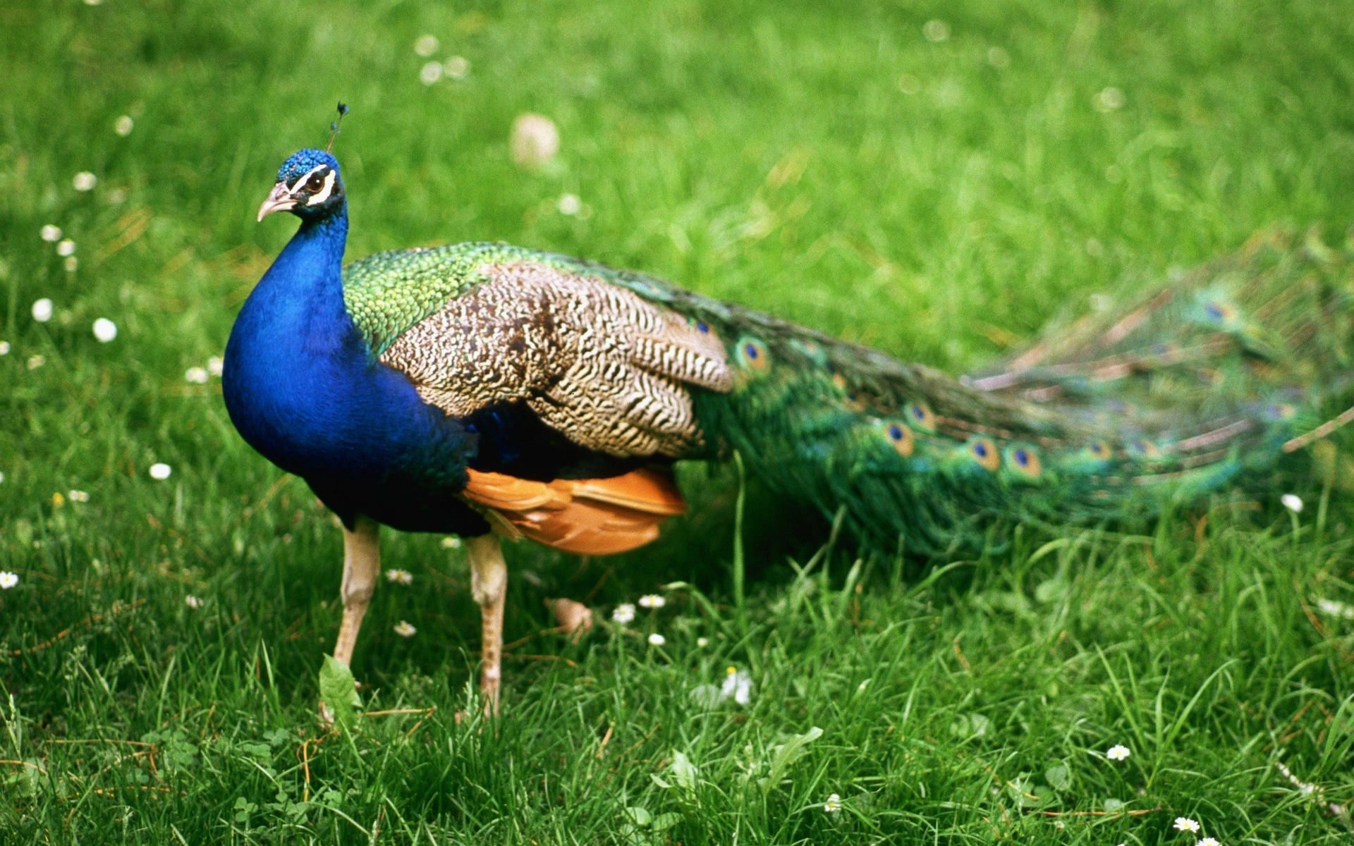 Full Hd Nature Wallpapers Peacock Images Peacock Photos Animals Beautiful
