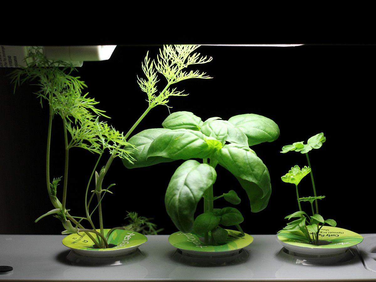 The Indoor Herb Garden Chronicles And An Aerogarden 400 x 300