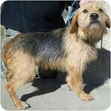 Image Result For Welsh Terrier Dachshund Mix Terrier Mix Yorkie Mix