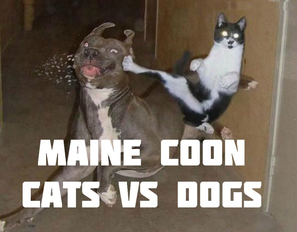 Dogs vs Maine Coon Cats Dogs vs cats