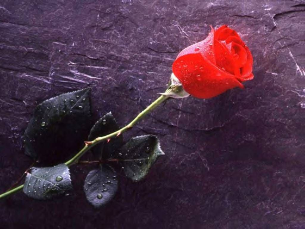 single red rose (With images) | First love poem, Love ...