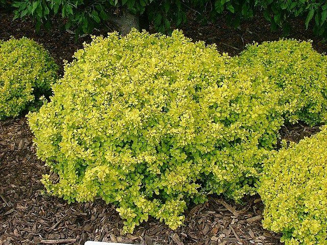 Berberis Thunbergii Bogozam Landscape Colorful Garden Low