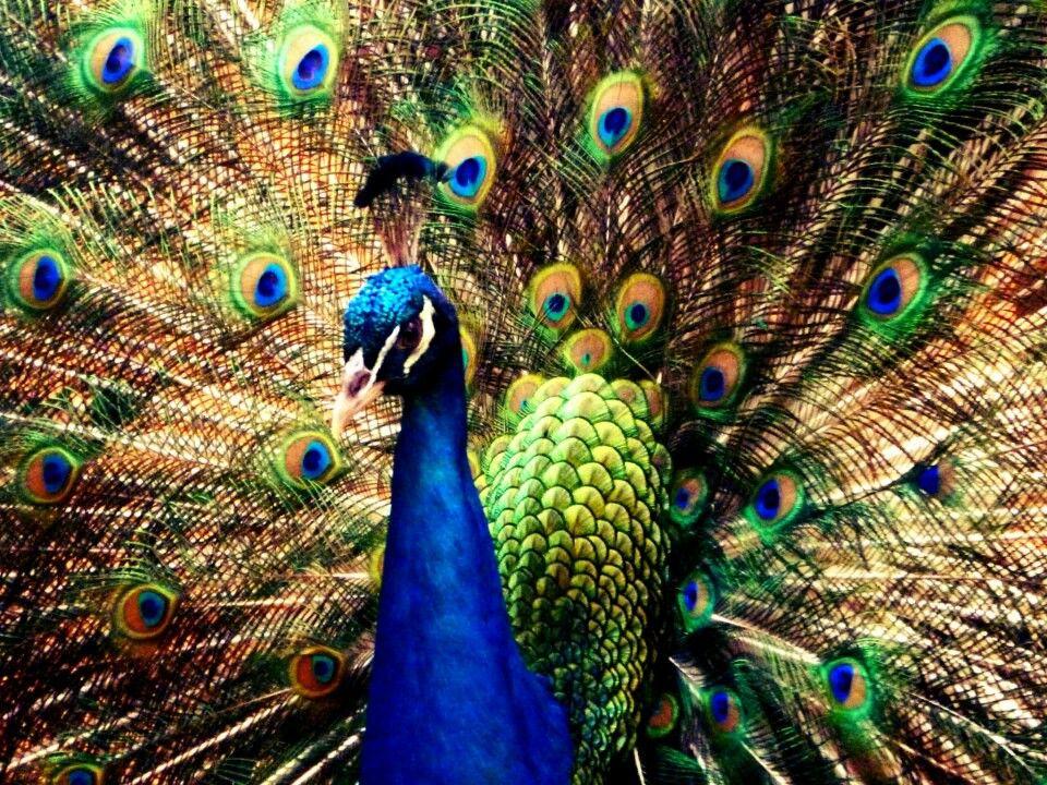 pavão em sua dança do acasalamento - zoológico de foz do iguaçu