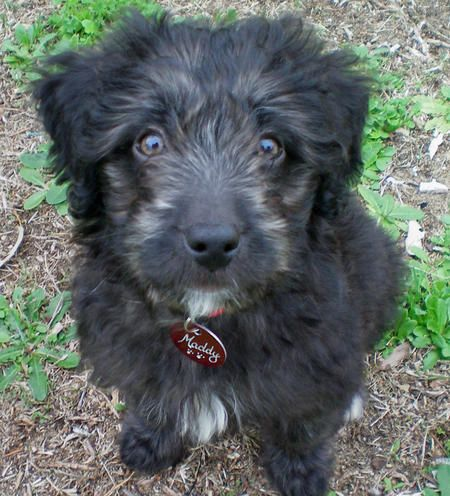 Border Collie Labradoodle Mix