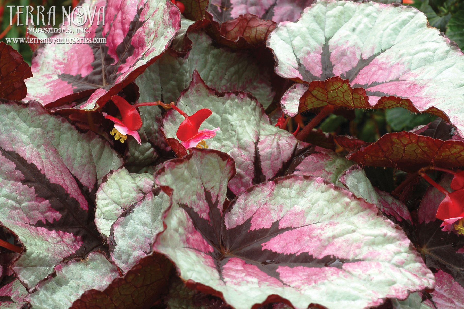 Begonia T Rex First Blush Silvery Lavender Leaves Are Lightly Kissed With Raspberry That Gets More Pronounced Plant Breeding Begonia Online Plant Nursery