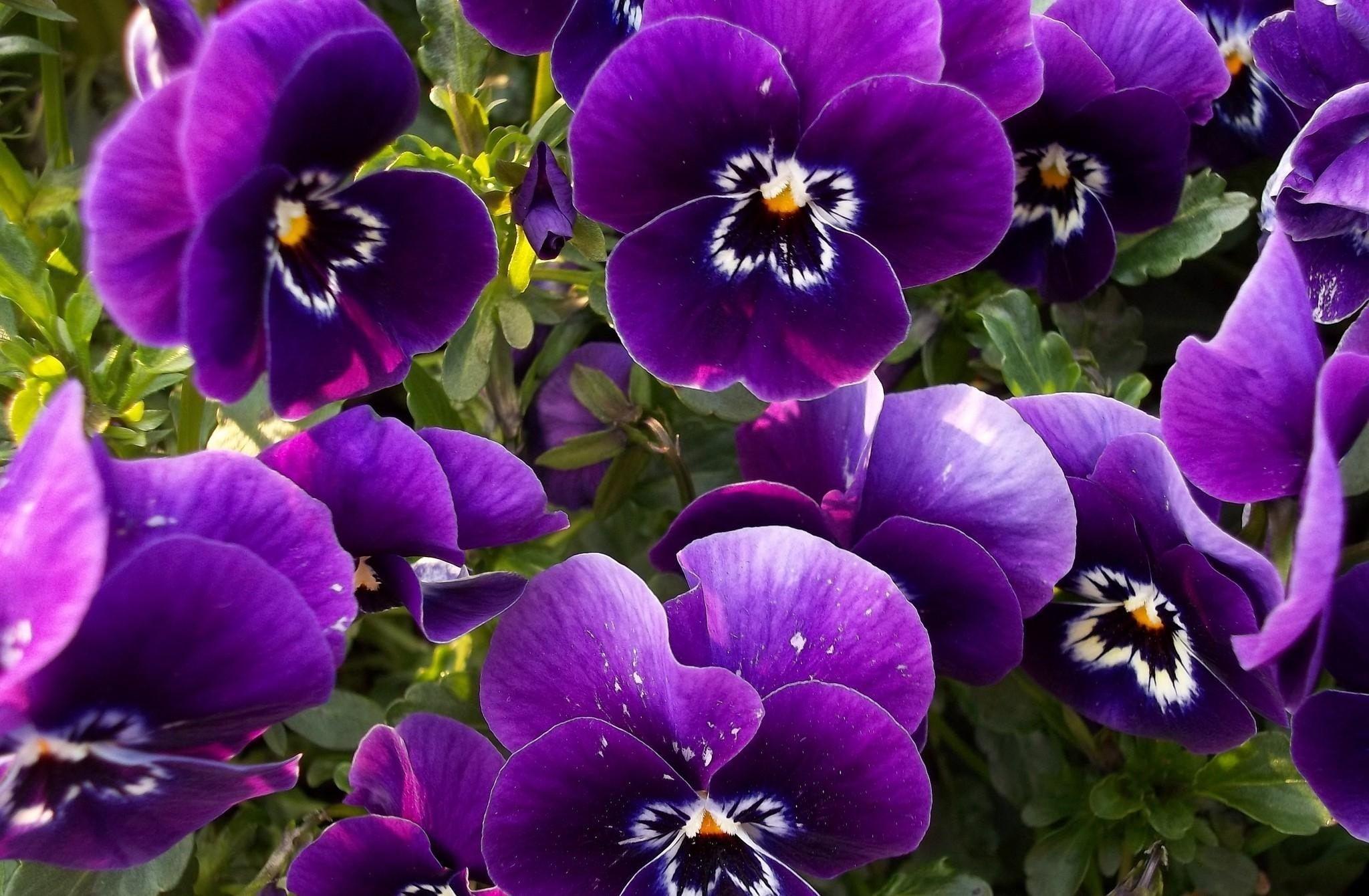 анютины глазки цветы фото: 14 тыс изображений найдено в ...