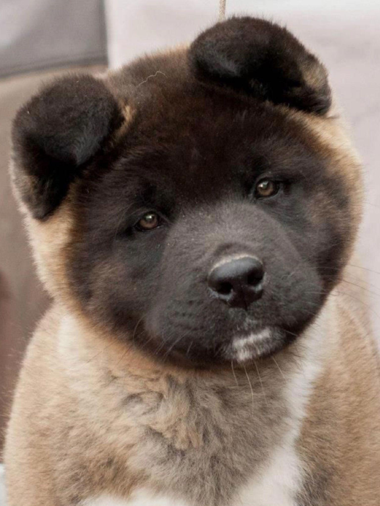 Pin By Vador On Akita Akita Puppies Akita Akita Dog