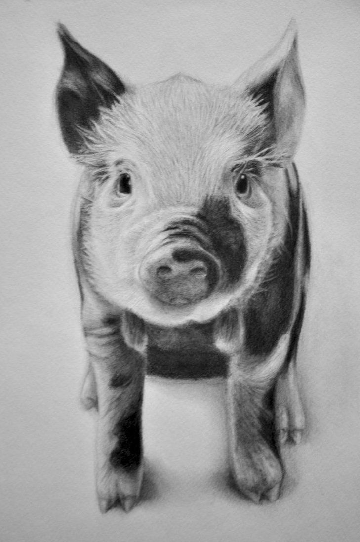 Pencil drawings of pigs related keywords suggestions pencil