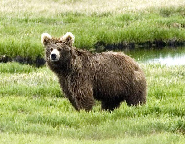 A sketch of the yeti: saving the Himalayan brown bear ... Himalayan Brown Bear Yeti