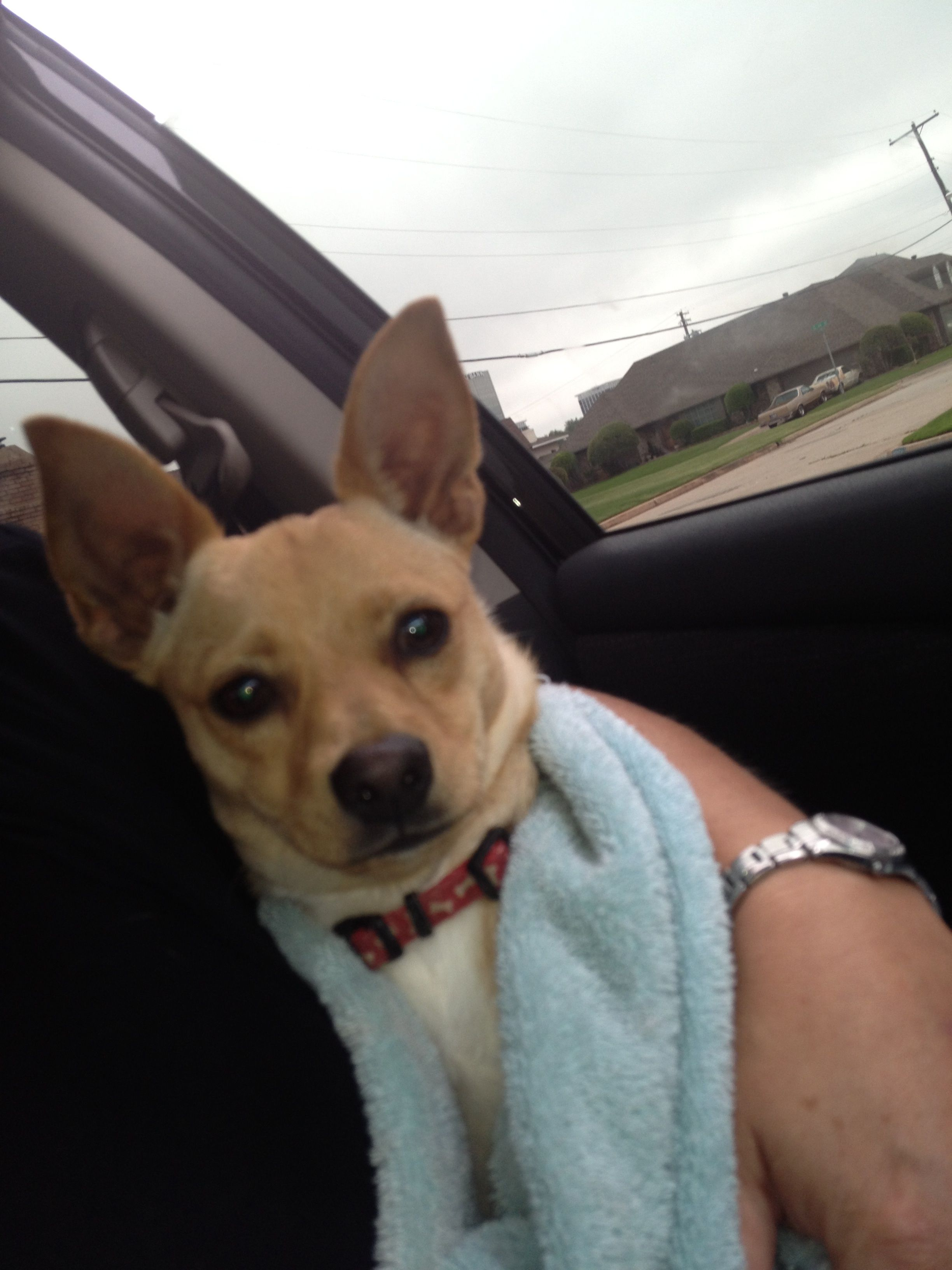 Sweet Boy Tan And White Chihuahua Found At Nw 50 And Grand Young