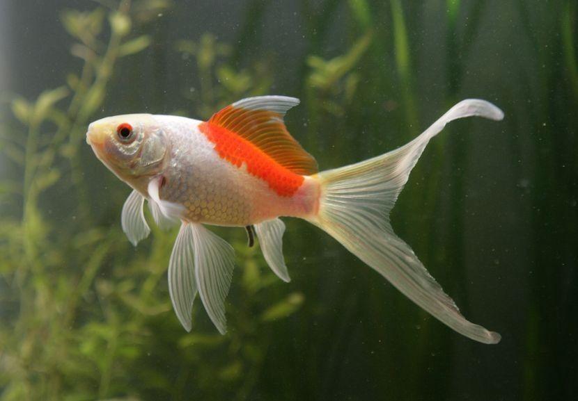 Comet Goldfish | Золотая рыбка, Аквариумная рыбка, Аквариум
