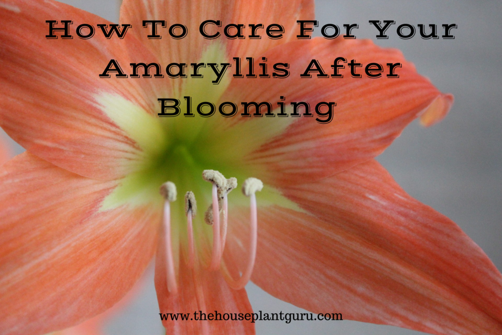 Do You Have Trouble Getting Your Amaryllis Bulb To Rebloom Let S Talk About How To Care For Your Bulb So It Will Wow In 2020 Amaryllis Bulbs Amaryllis Amaryllis Care