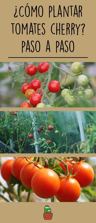 ¿Cómo plantar tomates cherry?