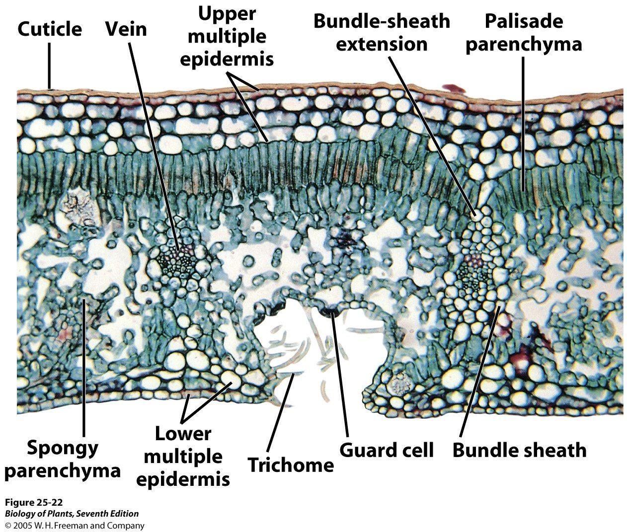 Xerophytic Leaf Cs Plant Anatomy Ii Stem Leaf Diversity