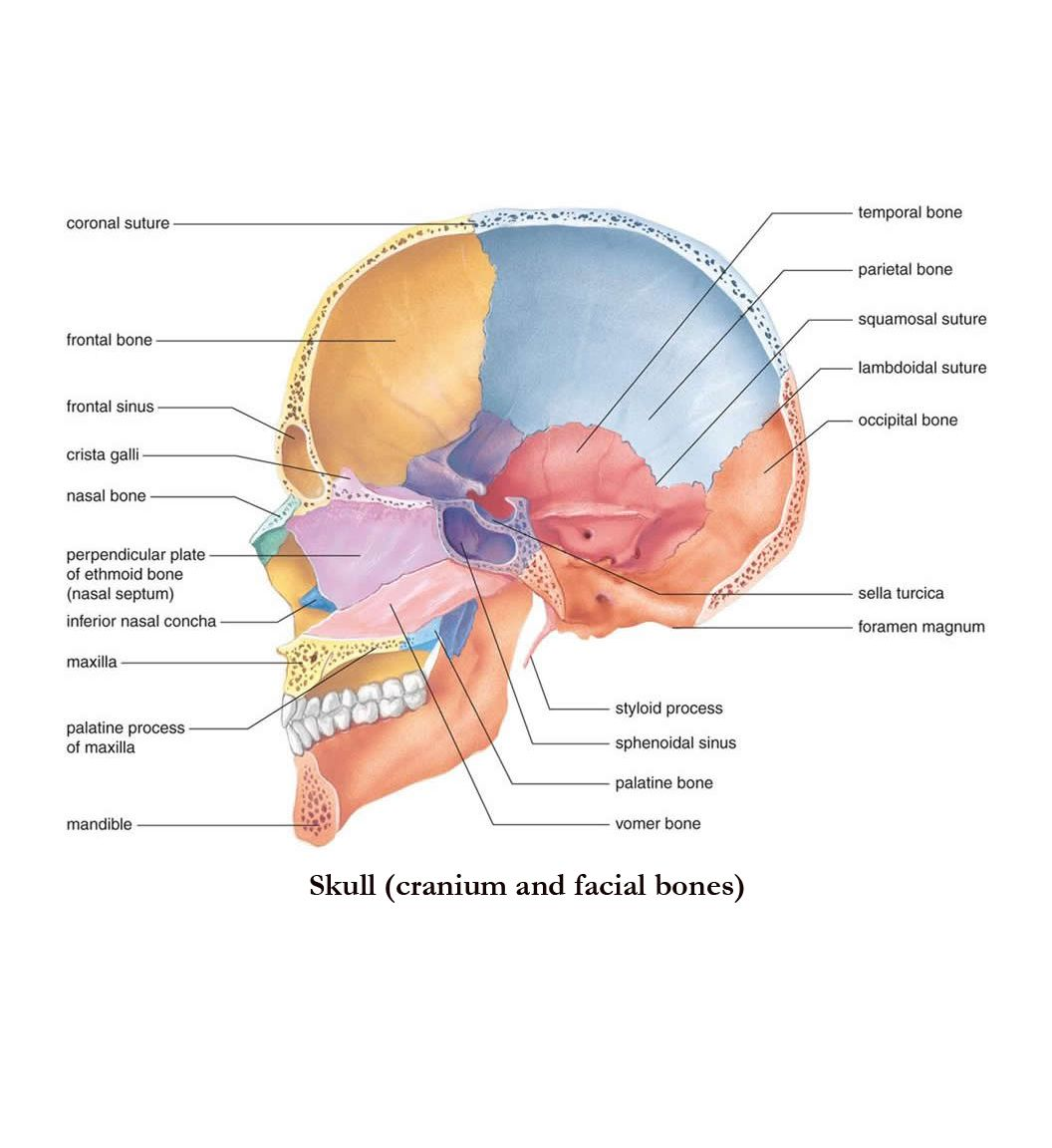 Skull / http://classes.midlandstech.edu/carterp/Courses/bio110 ...