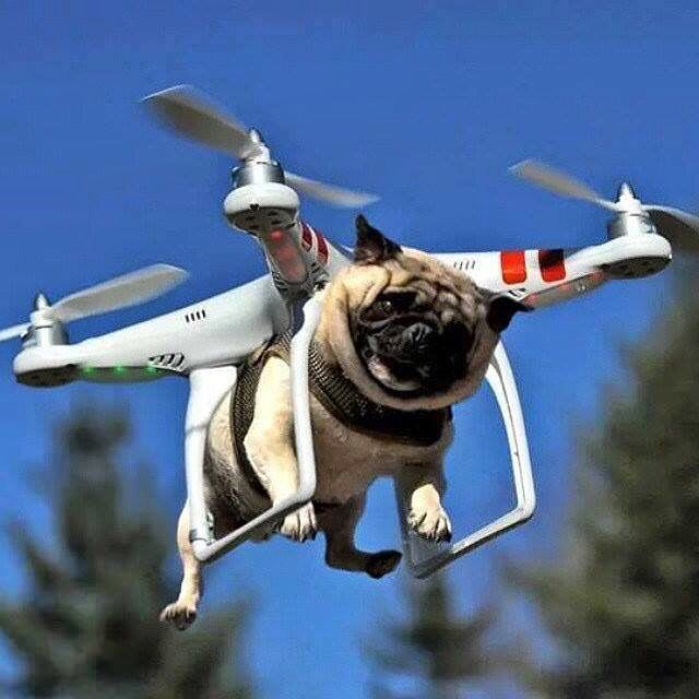 Wonderful Pug Army Adorable Dog - 0f0c206e9349a38f0cc0b6705554f9a6  Pic_65126  .jpg