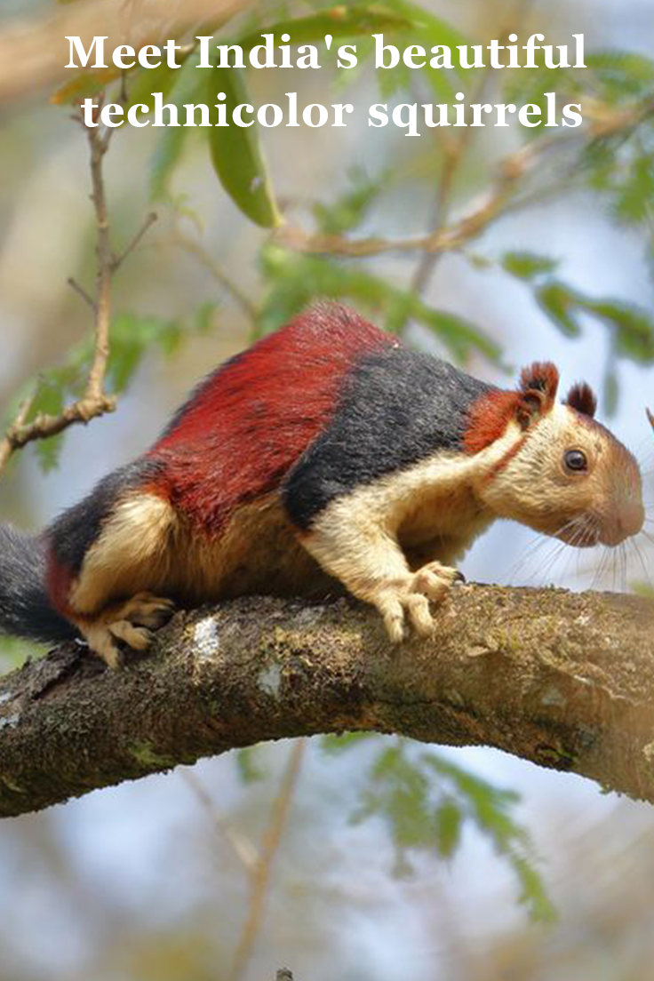 Meet India S Beautiful Technicolor Squirrels Indian Giant Squirrel Animals Animals Beautiful