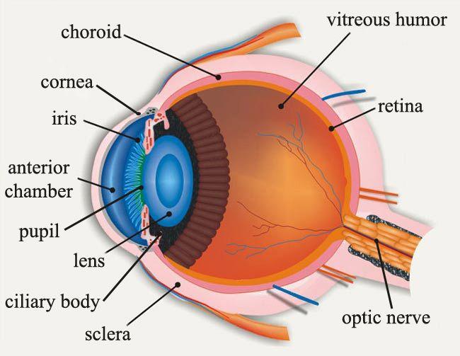 Human Eye Diagram Eye Anatomy Online Biology Dictionary