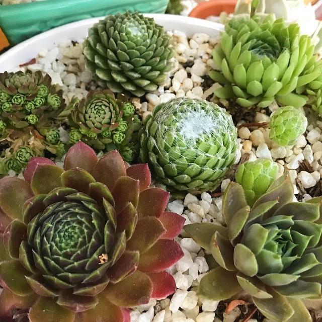 Hardy Succulents, Cold Tolerant Succulents | Mountain Crest Gardens ...