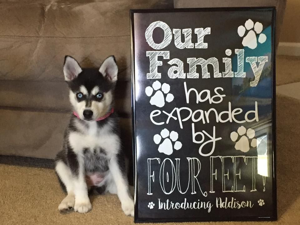 New Puppy Announcement - PERSONALIZED Our Family Has Expanded by Four Feet Cute Funny Printable Chalkboard New Pet Announcement Digital File #miniaturehusky Miniature Husky Puppy New Puppy Announcement Our Family has Expanded by Four Feet Printable Chalkboard File #miniaturehusky New Puppy Announcement - PERSONALIZED Our Family Has Expanded by Four Feet Cute Funny Printable Chalkboard New Pet Announcement Digital File #miniaturehusky Miniature Husky Puppy New Puppy Announcement Our Family has Ex #miniaturehusky