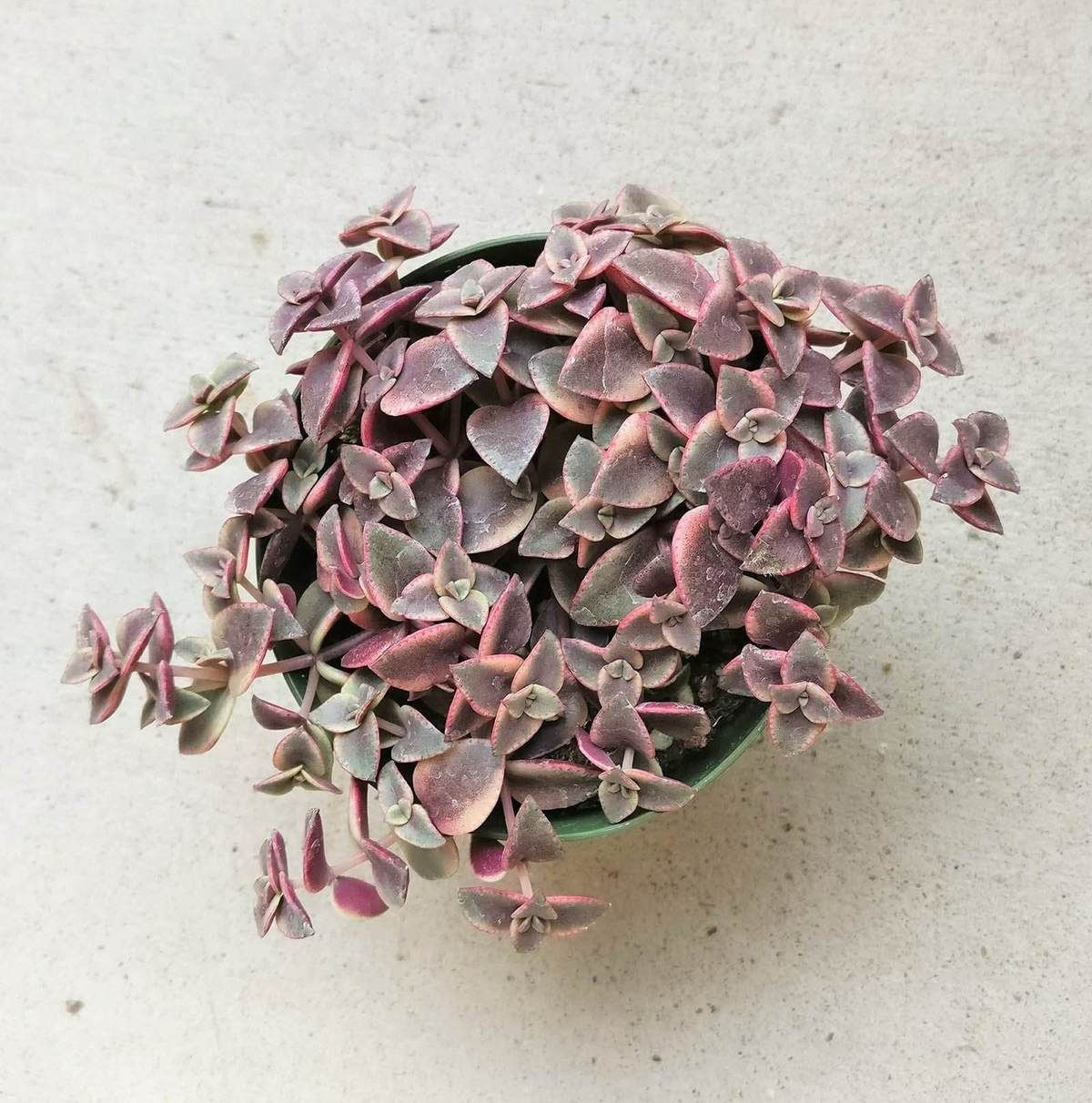 Calico Kitten Crassula Pink Succulent Succulents Red Succulents