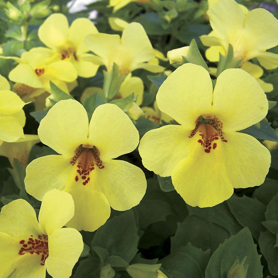 New for 2015: Torelus is a brand-new genus that combines Torenia (Wishbone Flower) and Mimulus (Monkey Flower), part shade or full sun annual.