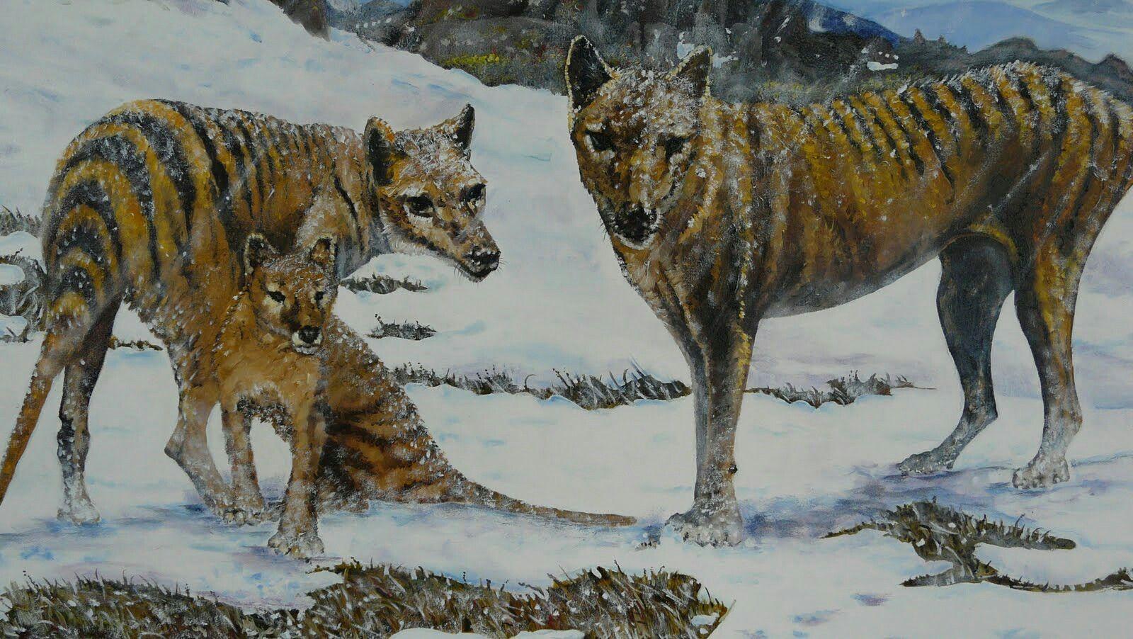 The recently extinct Thylacinus cynocephalus Tasmanian