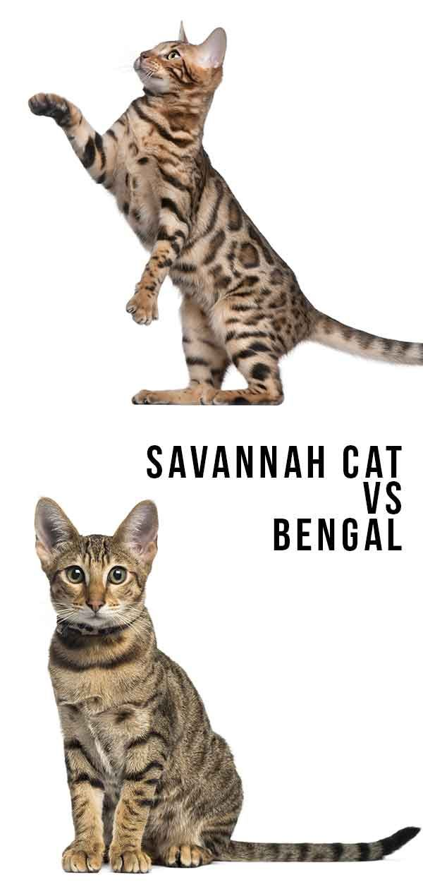 Savannah Cat Vs Bengal Which Wild Hybrid Is Right For You Bengal Cat Facts Savannah Cat Bengal Cat