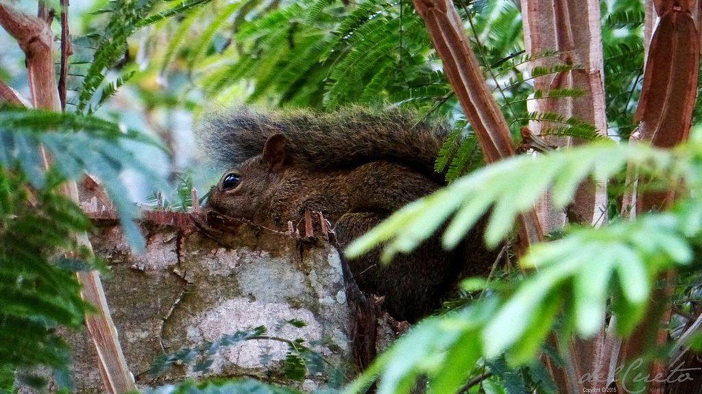 https://flic.kr/p/zvq2Fi | Araras 150905 019 Araras Mulatas esquilo rabo chuva | Araras, quase primavera de 2015, por Valéria del Cueto @no_rumo do  Sem Fim